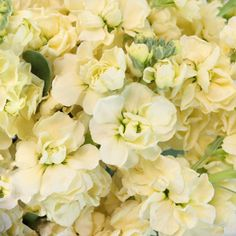 Stock Light Yellow Flower is a chic and cheerful way to add a demure splash of ruffled color to your flower arrangements. With creamy pastel yellow petals that Yellow Aesthetic Pastel, Aesthetic Colors, Flower Aesthetic, White Aesthetic, Pastel Flowers, Yellow Flowers, Stock Flower, Photo Wall Collage, Oui Oui