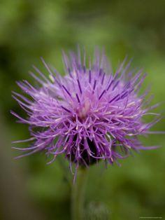 Macro Image of Purple Chinese Wildflower, Jingshan, China by David Evans