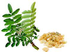 Nasze Ciało: Boswellia - roślina o działaniu przeciwzapalnym.