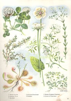 Vintage Botanical Print Antique CLOVER plant by VintageInclination, $8.98