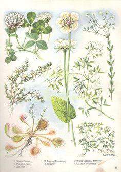 Vintage Botanical Print Antique CLOVER plant by VintageInclination, $8.98