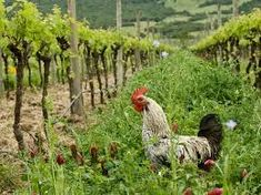WE LIST BIODYNAMIC WHEAT PRODUCTS AS A STAPLE OF A. PHILOMENA'S DIET AS WHEAT IS A RELIGIOUS FOOD AS IS WINE/ BOSTOCK/ Biodynamic vineyard