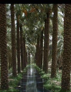SAUDI ARABIA, A DATE GROVE