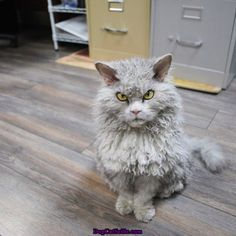 Meet Albert The Sheep Cat With Permanent Bitchy Resting Face cute animals cat cats adorable animal kittens pets kitten funny animals funny cats Selkirk Rex, I Love Cats, Cute Cats, Funny Cats, Funny Animals, Cute Animals, Crazy Cat Lady, Crazy Cats, Bitchy Resting Face