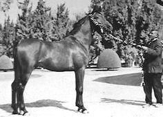 TUHOTMOS (El Sareei x Moniet El Nefous, by Shahloul) 1962 bay stallion