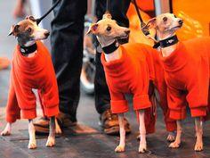 Italiaanse Greyhounds komen aan voor de eerste dag van de hondenshow op 8 maart 2012