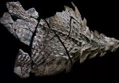 Em 2011, Shawn Funk trabalhava como operador de um equipamento de escavação em uma mina em Alberta, no Canadá. O dia seria apenas mais um de sua carreira se ele não tivesse encontrado por acaso com algo mais duro do que as pedras: um fóssil de dinossauro com cerca de 110 mil anos. A descoberta do animal fez com que se desse início às escavações na área. Diferentemente da maioria dos fósseis encontrado até hoje, que não passam de ossos ou dentes, neste caso o dinossauro havia sido fossilizado…