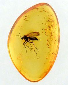 in een barnsteen zitten soms ook insecten