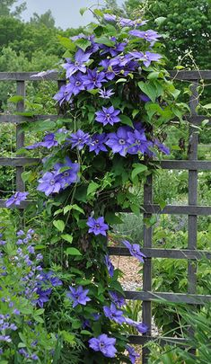 Flower Garden dener should know the pleasure of growing clematis. If you already have one in your garden, you're probably scheming about how to squeeze in another! New to clematis? - New to clematis? Learn everything you need to grow this flowering vine. Climbing Clematis, Clematis Trellis, Clematis Plants, Vine Trellis, Climbing Vines, Climbing Flowering Vines, Climbing Plants Fast Growing, Clematis Flower, Small Gardens