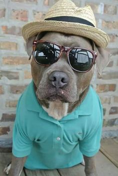 Stylish #Pit #Bull