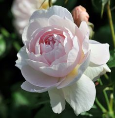 A dense, baby pink rose centre is captured in this photo from K White, Warminster