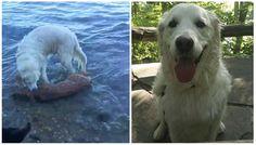 Perro salva pequeño ciervo de ahogarse Animals, Ideas, Floating In Water, Deer, Dogs, Home, Animales, Animaux, Animal