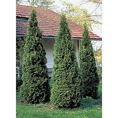 Timanttituija Smaragd 80-100 cm | Havukasvit | Pihan kasvit | Multasormi | Agrimarket