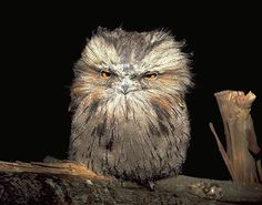 The Tawny Frogmouth - the cutest owl-like bird ever! - Funny brain training quizzes - Trivia - Interesting facts - Personality tests | Quizzclub.com