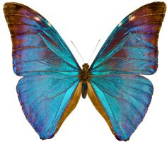 60de42ab3 transparent-flowers: Morpho Aurora butterfly. Beautiful Butterflies,  Beautiful Bugs, Blue Morpho
