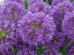 Allium 'Purple Sensation' | Explore Supergites' photos on Fl… | Flickr - Photo Sharing!