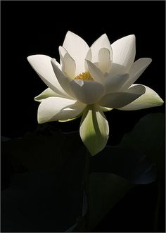 I wish I had my very own pond full of White Lotus Flowers ~