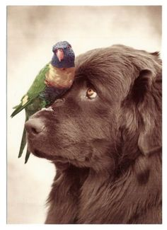 Newfoundland dog with parrot.  Such great dogs. My next newfie will be brown.