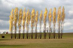 autumn yellow poplars dusk blue sky nature by GardenCapture, $22.00