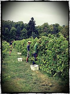 """Learn about New York's wine-making history with us on our """"American Masterpieces"""" voyage this spring. www.traveldynamics.com"""