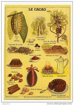 Deyrolle - Le Cacao.