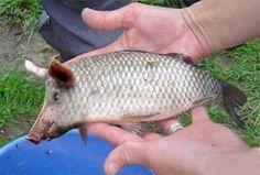 Peixe com focinho de porco foi capturado no Rio Tejo!