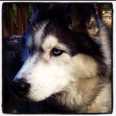 Love Siberian Huskies!