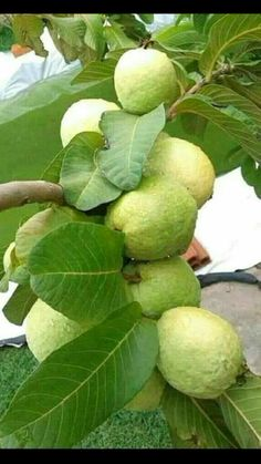 king Queen💑❤👸srija on TikTok Fruit Plants, Fruit Garden, Fruit Trees, Trees To Plant, Plant Leaves, Guava Plant, Guava Fruit, Red Guava, Fruits And Vegetables Pictures