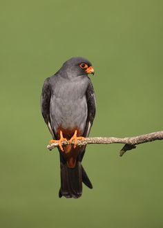 Red-footed Falcon by Michael Southcott on Tree Mushrooms, Pretty Birds, Birds Of Prey, Raptors, Falcons, Nature Animals, My Animal, India, Image