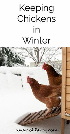 The Definitive Guide to Keeping Chickens in Winter - Oh Lardy! Want all the Oh Lardy awesomeness delivered right to your inbox?  Grab our newsletter here: https://il313.infusionsoft.com/app/form/d0d7082c8e0308d3bca548dedc511cae