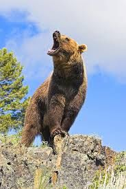grizzly bear standing roaring - Google Search