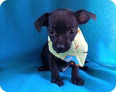 Burbank, CA - Chihuahua Mix. Meet Eugene, a puppy for adoption. http://www.adoptapet.com/pet/15684144-burbank-california-chihuahua-mix