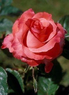 Вместо того, чтобы сетовать, что роза имеет шипы, я радуюсь тому, что среди шипов растёт роза.