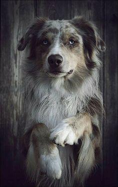 Australian shepher