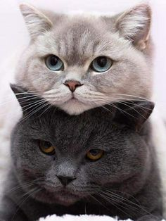 crescentmoon animalia … - Top Of The World Cute Cats And Kittens, I Love Cats, Kittens Cutest, Kitty Cats, Beautiful Cats, Animals Beautiful, Cute Baby Animals, Funny Animals, Cute Baby Cats