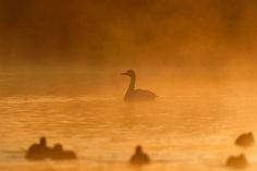 Tundra Swan in Morning Gold Mist by Mubi.A