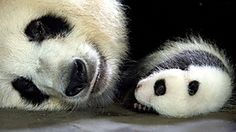 Giant Pandas were on the brink of extinction but now they are coming back, thanks to an extraordinary conservation project. The Chengdu Research Base in central China is at the heart of a project to breed 300 pandas, and then start introducing them back into the wild. It is the most ambitious and controversial conservation effort ever mounted.