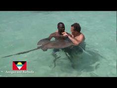 StingRays in Antigua and Barbuda! - http://www.nopasc.org/stingrays-in-antigua-and-barbuda/