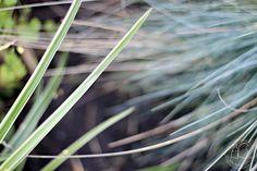 Oravankesäpesä sininata Festuca glauca ja japaninsara Carex morrowii 'Ice Dance'
