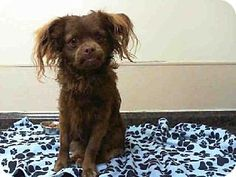 Las Vegas, NV - Cavalier King Charles Spaniel Mix. Meet *SCOTCH, a dog for adoption. http://www.adoptapet.com/pet/11869683-las-vegas-nevada-cavalier-king-charles-spaniel-mix