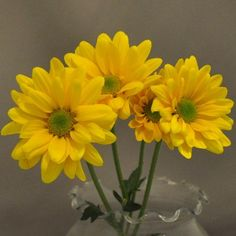 23 best citrus colors orange green yellow images on pinterest strong sturdy stems bear multi headed sprays of bright yellow double daisy flowers with lime green centers mightylinksfo