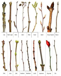 Photos of real winter twigs to help you identify trees in winter