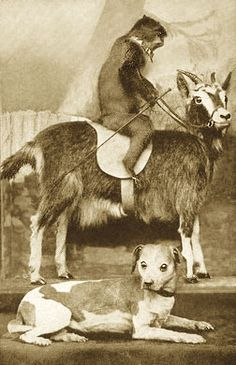 """Walter Potter's """"Monkey Riding a Goat"""", c.1870s. The monkey was acquired after he robbed a fruit stand in Shoreham, and was doused with a bucket of cold water. The shock killed him.The goat, on the other hand, was extremely aggressive, and was """"put to an end"""""""