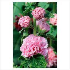 Alcaea - Hollyhock 'Charters Double Salmon'
