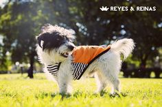 Primavera Verano / Pug / Jack Russell Terrier / Poodle / Caniche / Plaza / Juegos / Park / Happy dog / Fashion Dogs Dog Fashion, Jack Russell Terrier, Happy Dogs, Poodle, Pugs, King Queen, Summer Time, Poodles, Pug