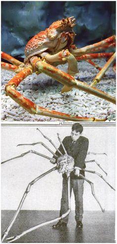 Animales Marinos Gigantes Cangrejo Gigante Japonés