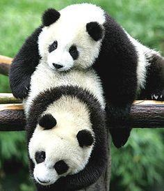 Pandas at the Chengdu Panda Breeding Center in Chengdu, China.  So cute, so playful.