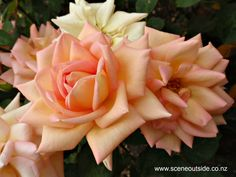 -- www.sceneoutside.co.nz - aboutgardendesign.com Roses, Flowers, Plants, Image, Pink, Rose, Flora, Royal Icing Flowers, Floral