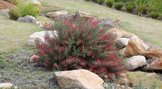 CRIMSON VILLEA™ - Grevillea rosmarinifolia 'H16' PBR