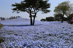 Blue Eyes Nemophila Japan